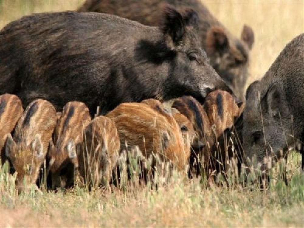 Divlje svinje Gornje Podunavlje